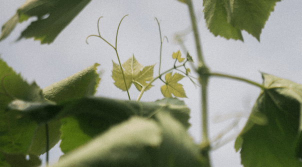 detail shot of grape leaves on a vine canopy.